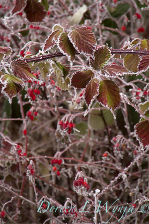 Winter frosted blackberries and red rosehips_9506