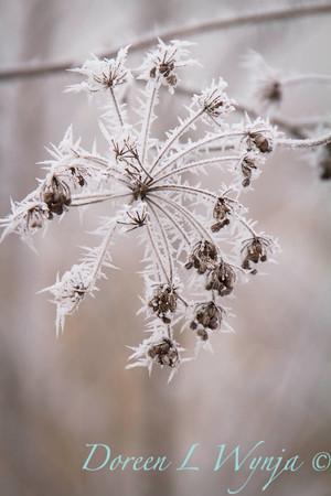 Winter frost_9319