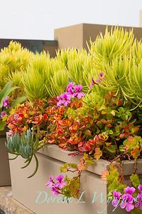Crassula ovata 'Hummel's Sunset' - Senecio 'Himalaya' succulent container_5251