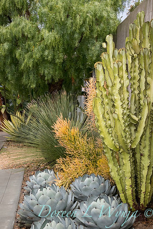 Euphorbia ammak variegata - E  tirucalli 'Sticks on Fire' - Agave parryi - Dasylirion longissimum xeriscape_6477