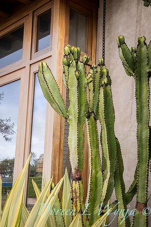 Euphorbia ammak variegata_6521