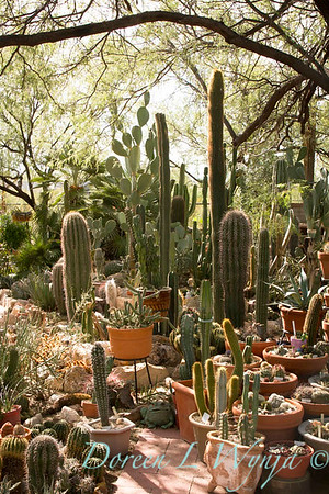 cacti container collection in terra cotta pots; southwestern style garden; potted cactus collection; cactus garden