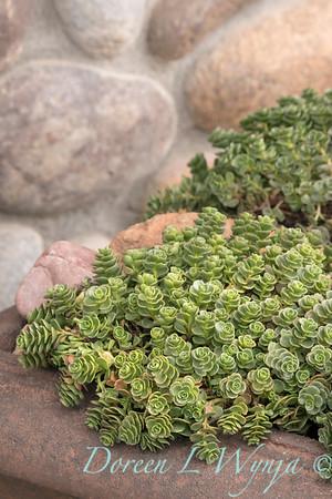 1182 Sedum spurium 'John Creech' succulent container_2740
