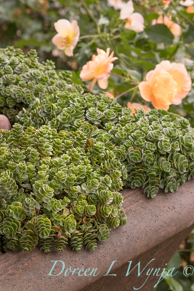1182 Sedum spurium 'John Creech' succulent container - 3629 Rosa x 'NOA97400A' Flower Carpet Amber_2733