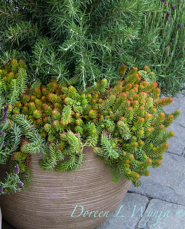 Sedum 'Angelina', Rosmarinus officinalis 'Tuscan Blue', Lavandula stoechas 'Regal Splendour' in a contemporary container