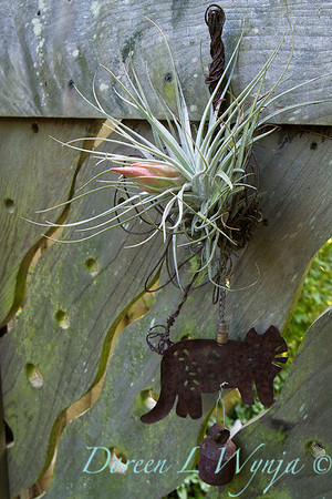Tillandsia stricta with rusty metal cat chime on a wooden custom carved fence; houseplant
