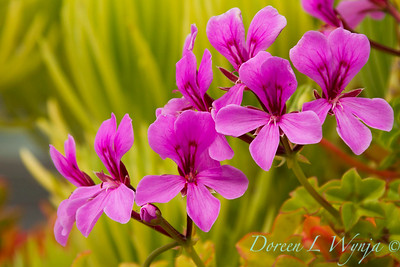 Pelargonium peltatum 'Happy Face Amethyst' of magenta geranium flowers with a chartreuse background