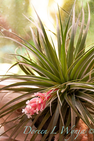 Tillandsia stricta in bloom; air plant; houseplant
