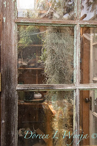 Tillandsia usneoides Spanish moss in potting shed_0372