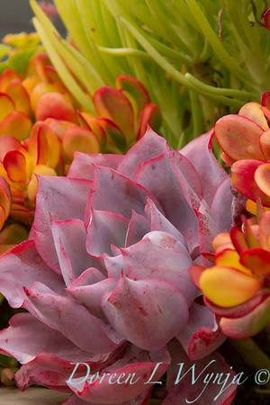 Echeveria 'Afterglow' - Crassula ovata 'Hummel's Sunset'_5233