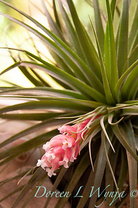 Tillandsia stricta indoors_0355