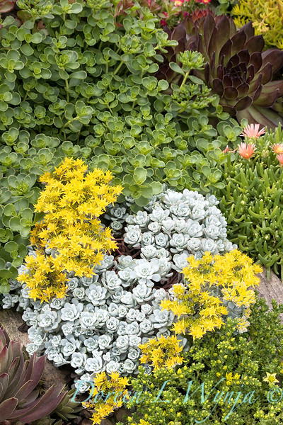 Sedum spathulifolium 'Cape Blanco' in a mixed succulent bed
