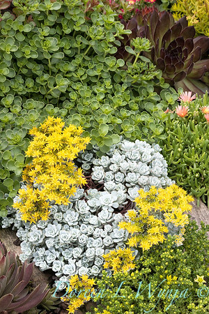 3428 Sedum spathulifolium 'Cape Blanco' succulent mixed bed_2685