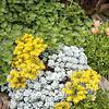 3428 Sedum spathulifolium 'Cape Blanco' succulent mixed bed_2685