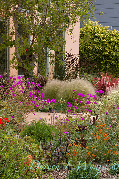 Mediterranean landscape - colorful front yard - Calandrinia spectabilis_7284