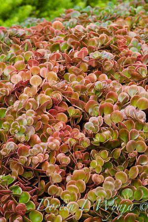 Sedum tectractinum coral reef, a succulent ground cover