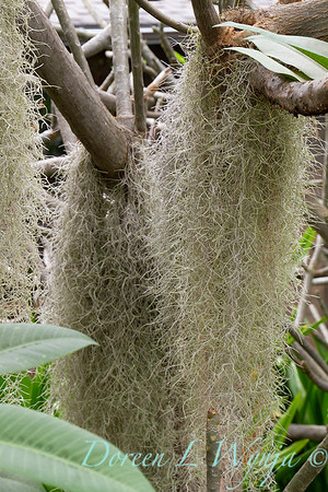 Tillandsia usneoides known as Spanish moss an air plant, this one hanging in a plumeria tree; Spanish moss hanging on tree