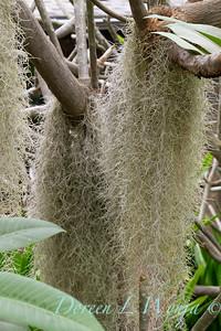 Tillandsia usneoides - Spanish moss_1355