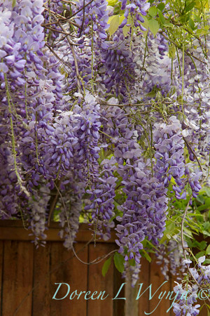 Wisteria floribunda Texas Purple_009