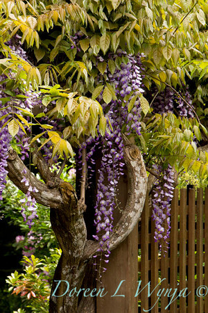 Wisteria floribunda Texas Purple_053