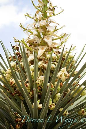 Yucca brevifolia_037