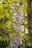 Wisteria floribunda 'Violacea Plena'_2011