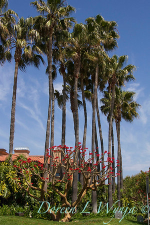 Washingtonia robusta_013