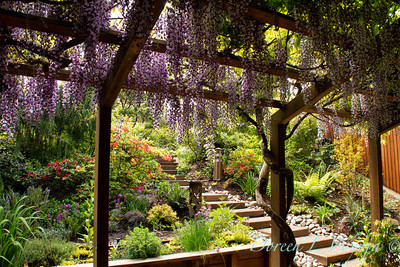 Wisteria floribunda Texas Purple_061