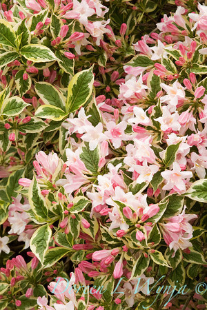 Weigela florida Variegated Nana_059