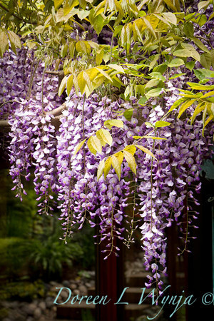 Wisteria floribunda Texas Purple_062