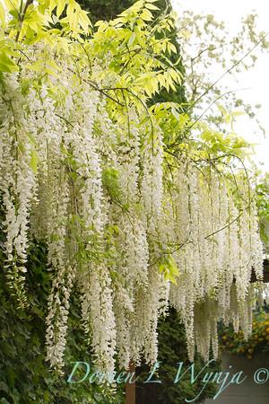Wisteria floribunda 'Issai Perfect' - 'Longissima Alba'_1443