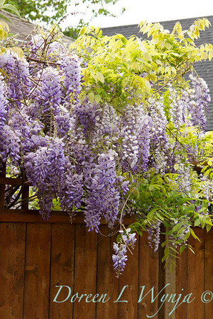 Wisteria floribunda Texas Purple_002