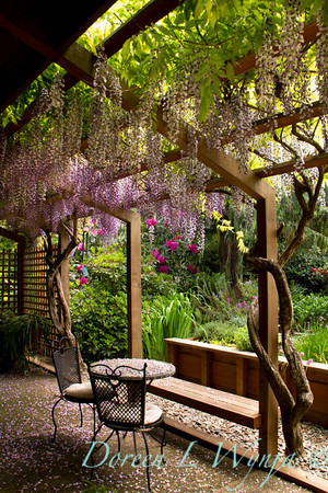 Wisteria floribunda Texas Purple_054