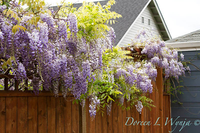 Wisteria floribunda Texas Purple_005