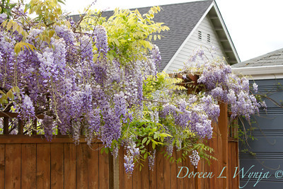 Wisteria floribunda Texas Purple_003