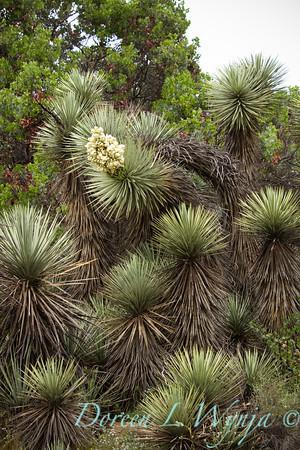 Yucca brevifolia_030