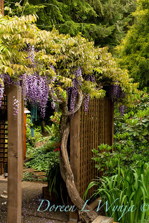 Wisteria floribunda Texas Purple_052