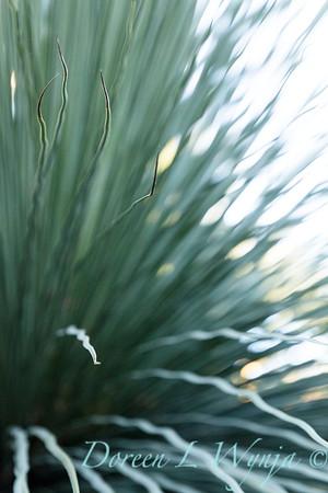 Australian Grass Tree; Xanthorrhoea; Xanthorrhoea quadrangulata