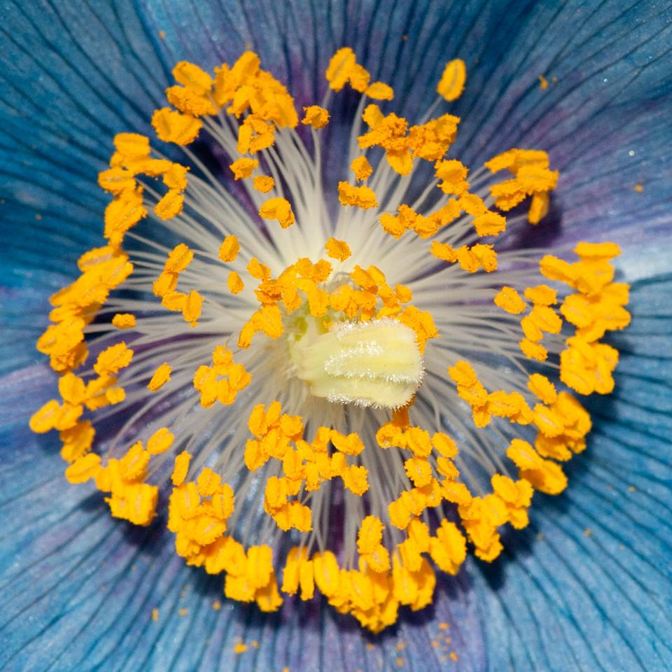 Meconopsis 'Lingholm'-15
