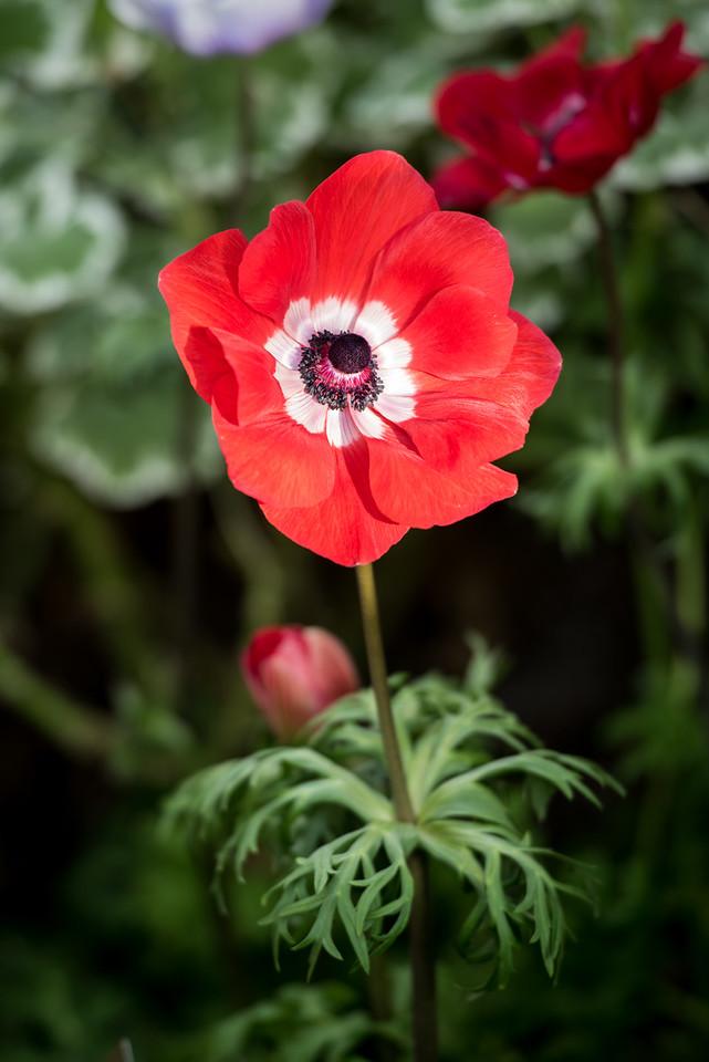 2-2-16 Anemone - Flower Garden Path - Orchid Extravaganza-67