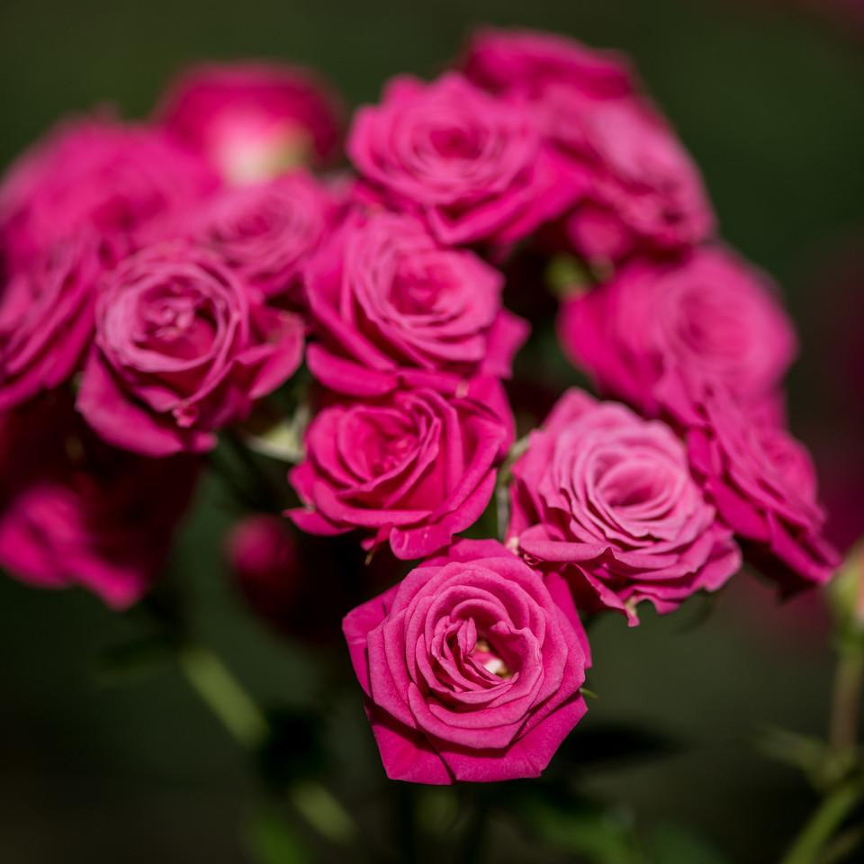 1-19-16 Rosa 'INTERkuyl- (Lovely Lydia) - Rose House - Longwood Gardens-81