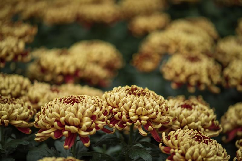 11-11-15  Chrysanthemum x morifolium 'St  Tropez' - Longwood Gardens-115