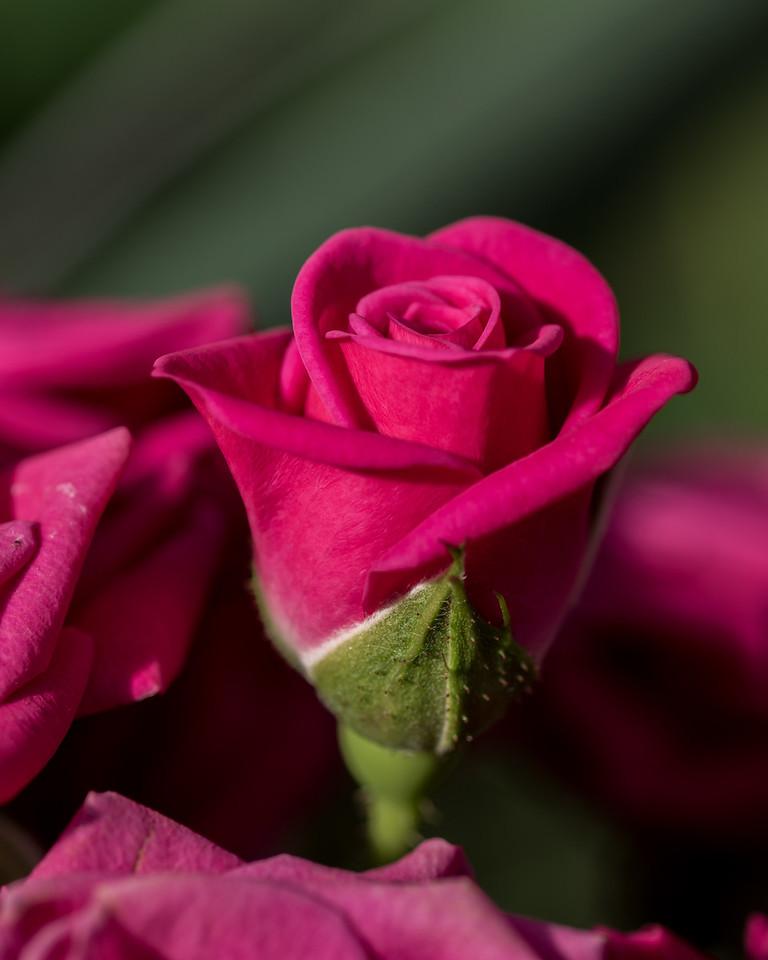 1-19-16 Rosa 'INTERkuyl- (Lovely Lydia) - Rose House - Longwood Gardens-56