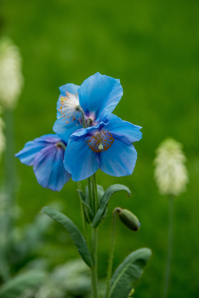 3-14-16 Meconopsis 'Lingholm' - Main Conservatory-101