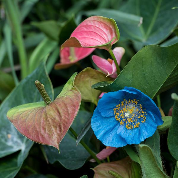 3-11-15 Blue Poppies - Longwood-134