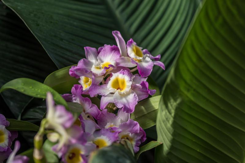 1-28-16 Orchid - Tropical Terrace - Longwood Gardens-251