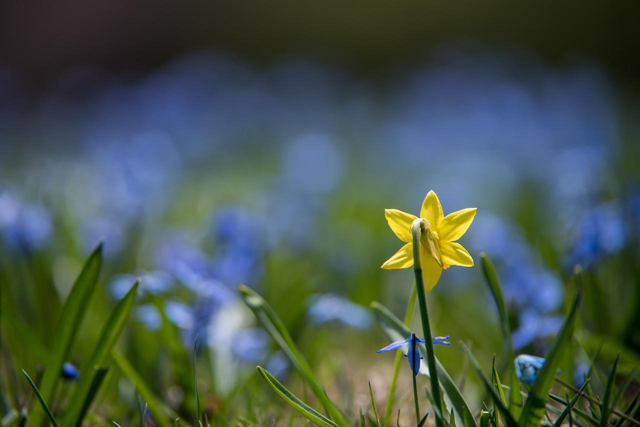 4-16-15 Lone Daffodill - Oak Knoll - Longwood-64