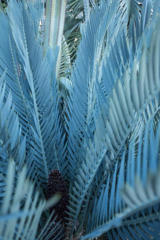1-28-16 Karoo Cactus - Enchephalartos lehmannii - Silver Garden - Longwood Gardens-62
