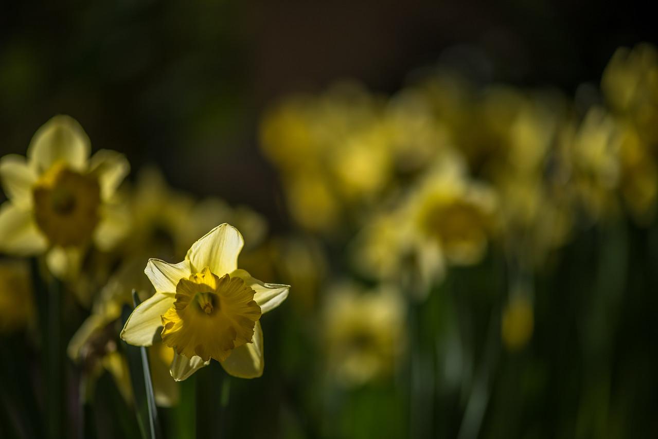 1-19-16 Daffodil - Children's Garden - Longwood Gardens-152