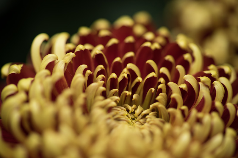 11-11-15  Chrysanthemum x morifolium 'St  Tropez' - Longwood Gardens-117